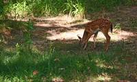 Fawn feeding in the woods