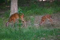 Mother and Fawn Feeding