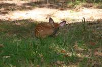 Spotted fawn laying down