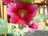 Hollyhock in Bbloom