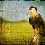 """Crested Caracara"" by heathergreen"