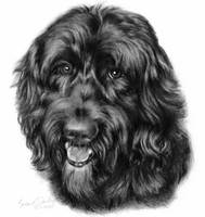 Happy, Black Labradoodle