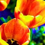 """""""Tulips"""" by SteveWalton"""