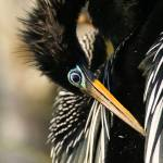 """Anhinga Pose"" by DenisW"