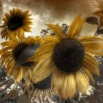 """Sunflowers"" by MatthewBrander"