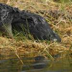 """American Alligator"" by DenisW"