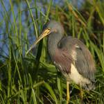"""Tricolored Heron"" by DenisW"