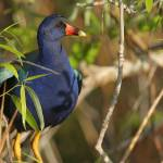 """Purple Gallinule"" by DenisW"