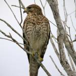 """Red-Shouldered Hawk"" by DenisW"