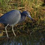 """Little Blue Heron"" by DenisW"
