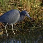 """""""Little Blue Heron"""" by DenisW"""
