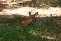 Fawn at Rest