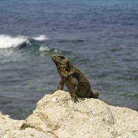 Lizzard in Cancun Art Prints & Posters by Christopher Sherlock