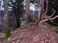 Bluff-top Gnarled Roots