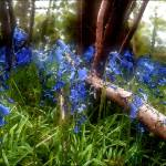 """Bluebell Wood"" by Gallery204"