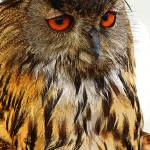 """Eagle Owl"" by Gallery204"