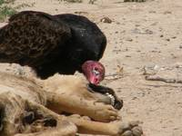 Vulture eating Lunch