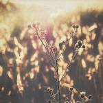 """field of gold. hbw!"" by toriginal"