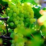 """""""Delicious Grapes"""" by LorrieMorrison"""