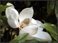 Magnolia Tree Bloom
