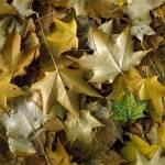 """""""Golden Leaves"""" by NickMeers"""