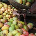 """Mangoes"" by gustinegirl"