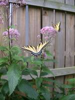 Swallowtails at Joe Pye Weed