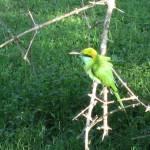 """Green Bee Eater"" by margaritariver"