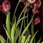 """Tulips"" by LindaCavaney"