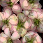 """""""Flipside Roses"""" by LindaCavaney"""