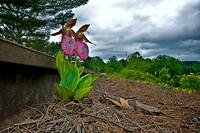 Lady Slippers--Wiscasset, Maine
