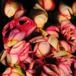 """Rose Cascade 3"" by LindaCavaney"