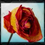 """""""Vieille Fleur"""" by sugarpanda"""