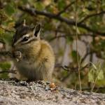 """Ground Squirrel-3001"" by PhotographyPerspectives"