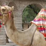 """Camel"" by riteshgaur"