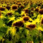"""Sunflowers"" by JamesHowePhotography"