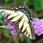"""""""Yellow Butterfly + Butterfly Bush"""" by Bonniemarie"""