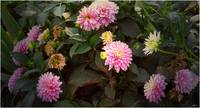 Withering  Zinnia's
