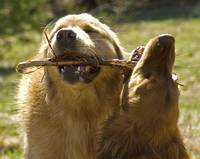 goldens with stick