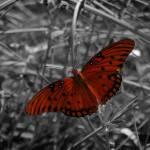"""Gulf Fritillary Butterfly"" by indigosky"