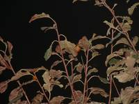 Night Plum leaves