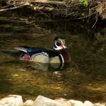 """wood duck"" by MsT"