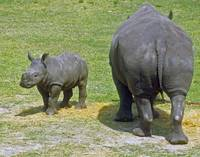 Rhinos Coming and Going