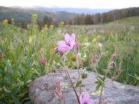 Mountain Wild Flower