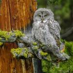 """Great Gray Owl & Robin"" by PronghornPix"