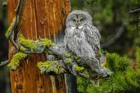 Great Gray Owl & Robin