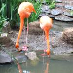 """Caribbean Flamingos!"" by JillianAnnePhotography"