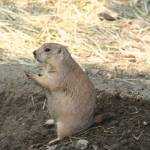 """Praying Prairie Dog"" by eveura"