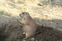 Praying Prairie Dog