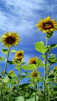 Vertical Sunflowers